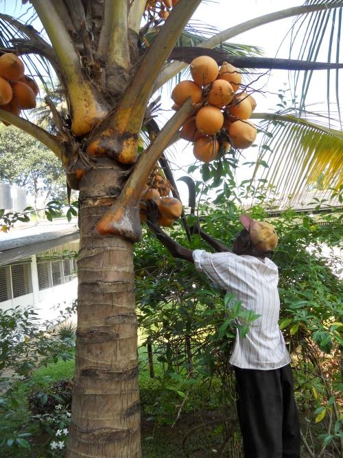 King Coconut growing in Uncle Wilson's yard